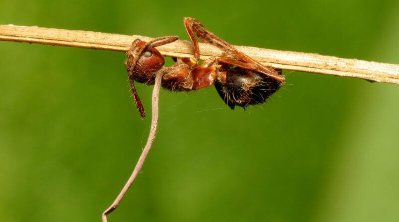 Hormigas zombie: hongos que 'controlan' insectos