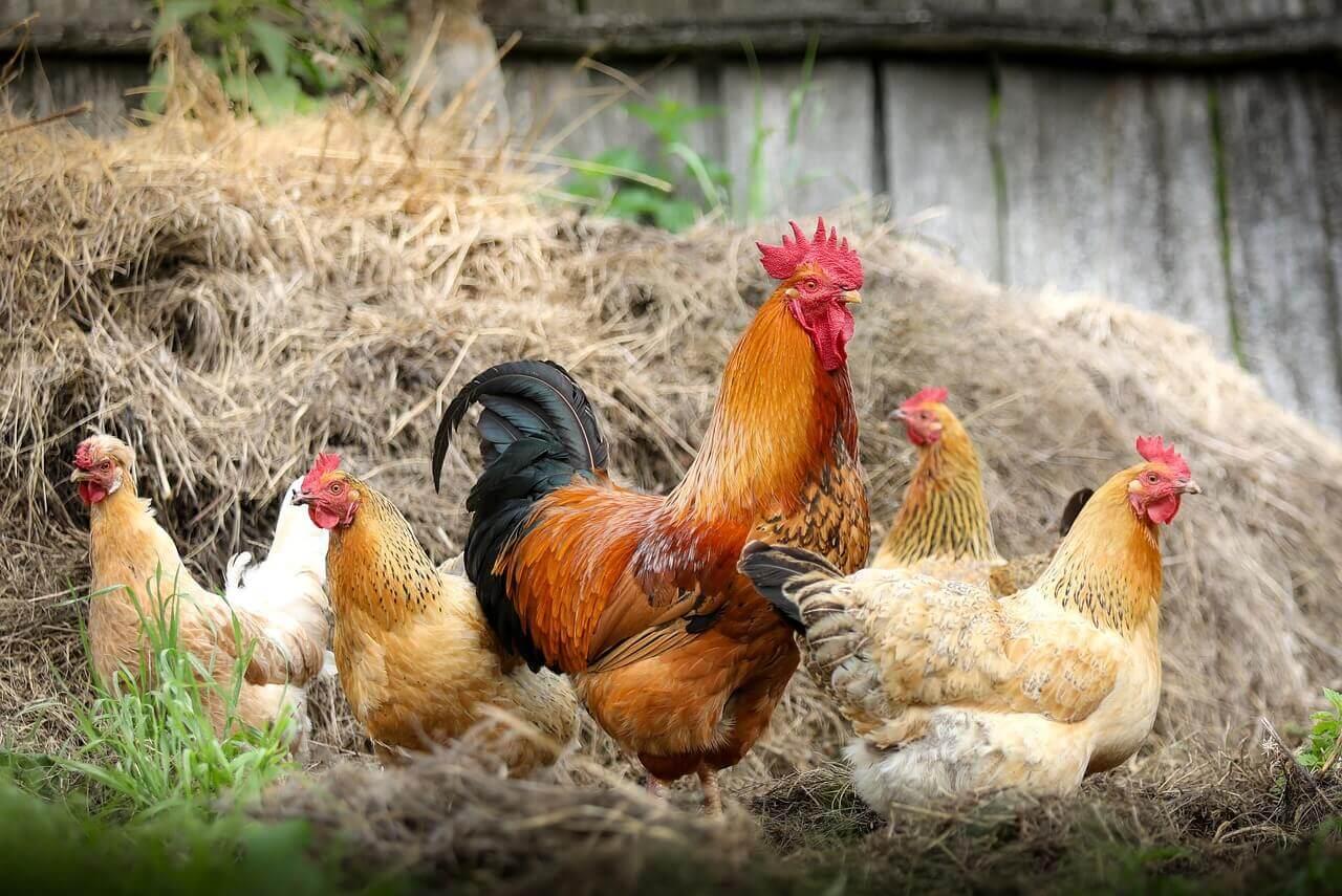La OMS advierte sobre el uso de antibióticos en animales sanos